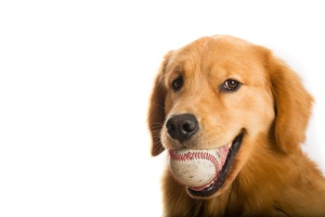 Golden Retriever Dog ready to play baseball